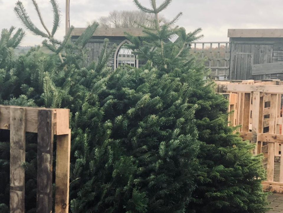 real christmas trees northamptonshire